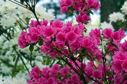 pink over white azaleas  blossoms  azalea