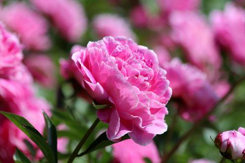 pink peony peony flower peony