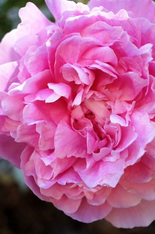 pink peony macro pink