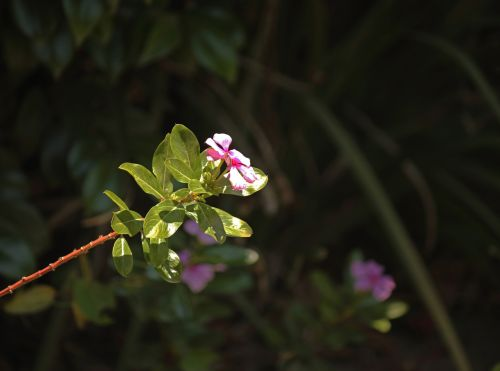 Pink Periwinkle Flowers And Leaves