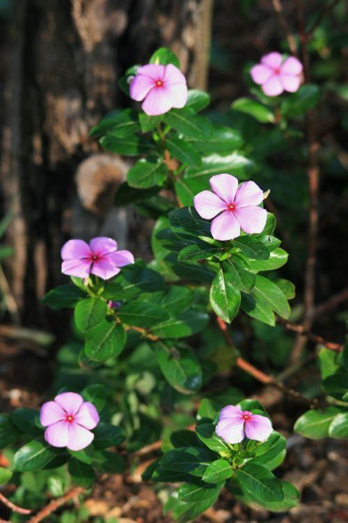 Pink Periwinkle Flowers In Garden