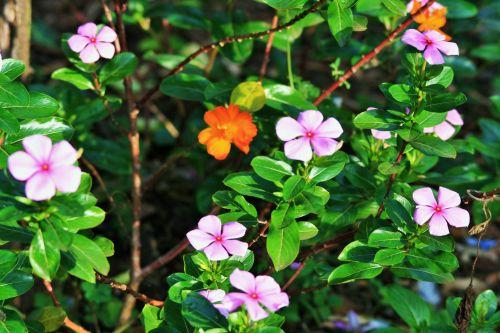 Pink Periwinkle In Garden