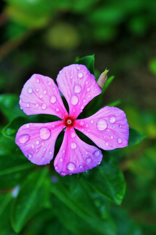 Pink Periwinkle With Waterdrops