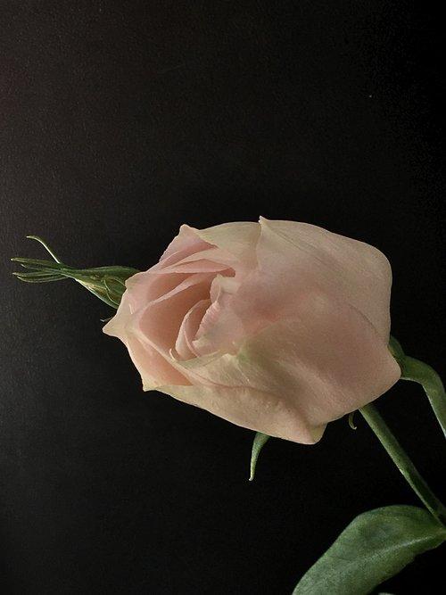 pink petals  pink flower  pink