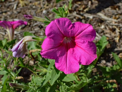 pink petunia flower blossom