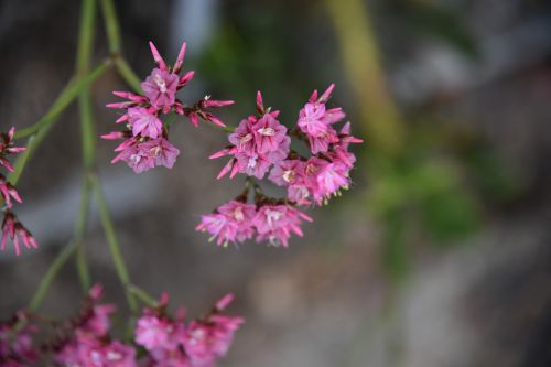 Pink Pointy Flowers