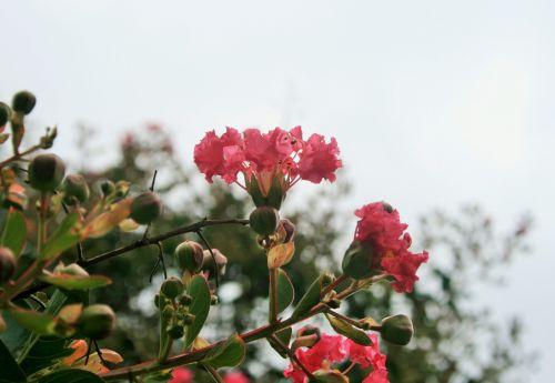 Pink Pride Of India Flower
