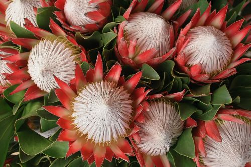 Pink Proteas With White Centers
