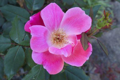 pink rose rose flower