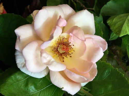 pink rose  pistils  flower