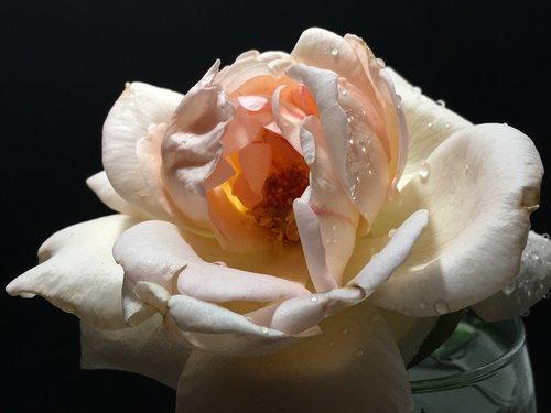 rožinė rožė, rožinė gėlė, Rosa, gėlė, pobūdį, rausvos gėlės, rožinis, rožinė žiedlapių, žiedlapiai, rožių žiedlapiai, Žiedlapis, Žiedlapių rožinė, augalų, gėlėtas, pistils, rožinė atvira, sodas