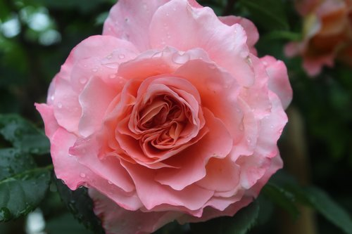 pink rose  tropical rain  wet rose