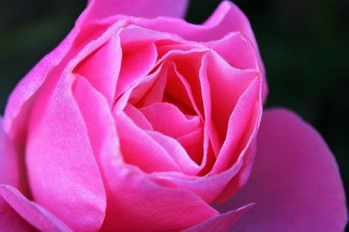 pink rose  rose  feeling