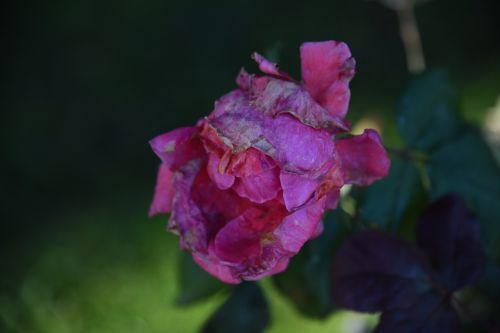 rožė, rožinis, veidas, dainuoti, diržai, melodija, rožinis rožinis veidas