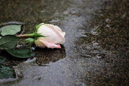 pink rose in rain  grey marble  love symbol