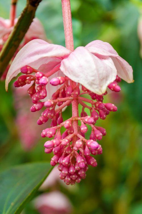 Free photos tropical flower search download needpix brightexoticflowerflowersnaturepinkplanttropical mightylinksfo