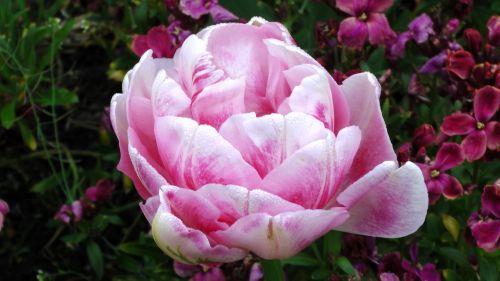 tulpė, tulpės, sodas, sodininkystė, rožinė & nbsp, tulpė, sodininkystė, Žemdirbystė, sodininkas, gėlė, gėlės, žydėjimas, pavasaris, žiedas, rožinė tulpė