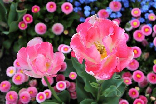 pink tulips  pink daisy  bellis perennis