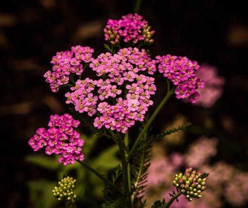 pink yarrow  achillea millefolium  flowers