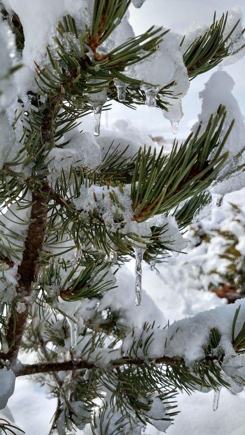 pinus edulis pin evergreen