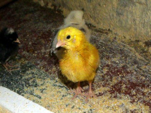 pint chicken bird