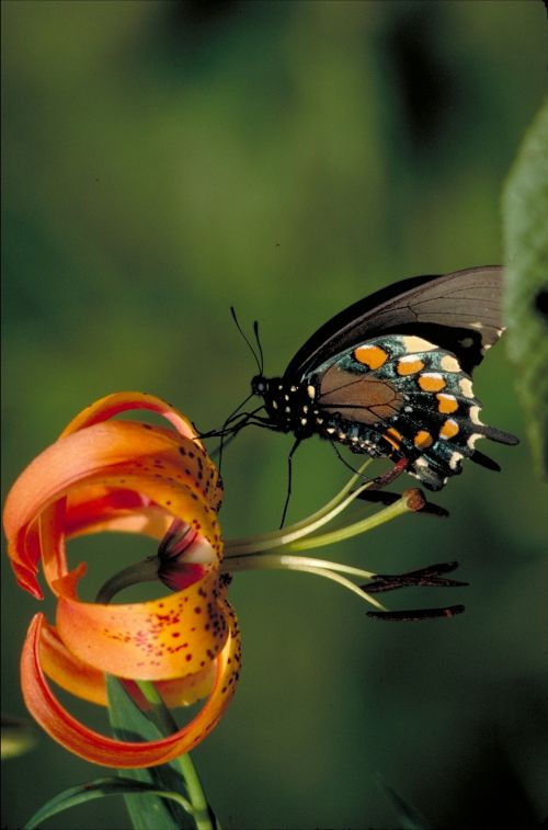 pipevine swallowtail butterfly insect turks cap lily