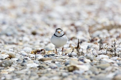 piping plover  endangered  beach