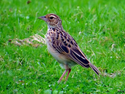 pipit paddyfield bird