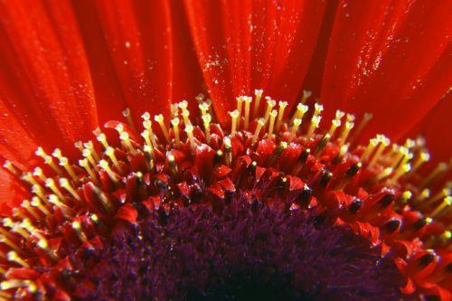 pistil,petal,flower,nature,gerbera,soft,colors,pistil & petals 2
