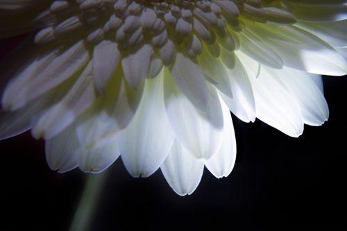 pistil,petal,flower,nature,gerbera,soft,colors,pistil & petals 9