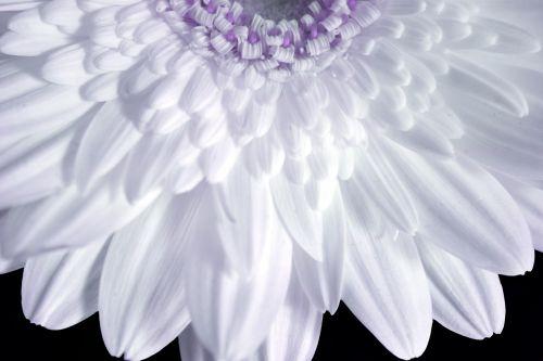 pistil,petal,flower,nature,gerbera,soft,colors,pistil & petals