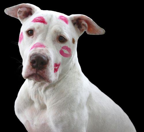 pit bull dog pitbull