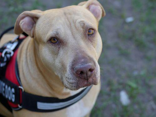 pit-bull service dog veterinarian