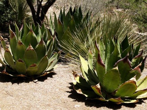 pita agave americana plant
