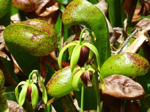 pitcher plant carnivorous plant