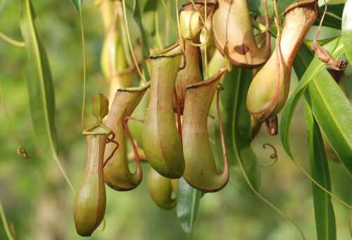 pitcher plant nepenthaceae carnivorous plant
