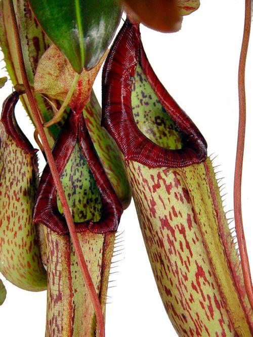 pitcher plant carnivore tropics