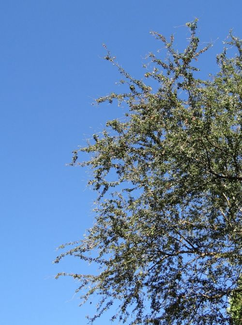 pithecellobium dulce fabaceae jungle jalebi