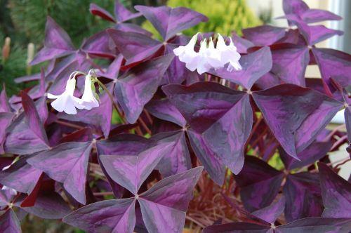 pizdobol triangular clover plant