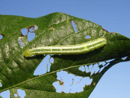 plague larva velvet worm