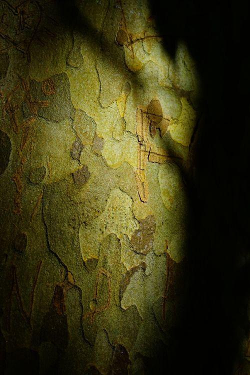 plane bark tree