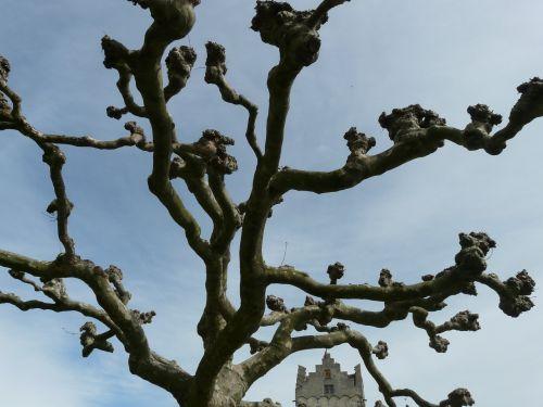 plane tree platanus
