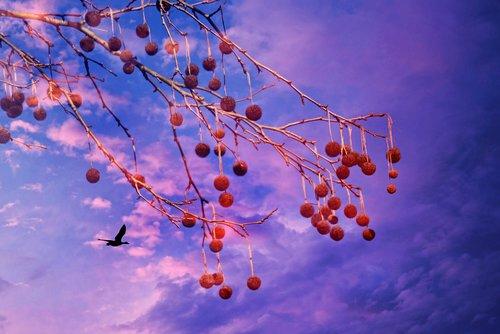 plane tree  plane fruit  skies
