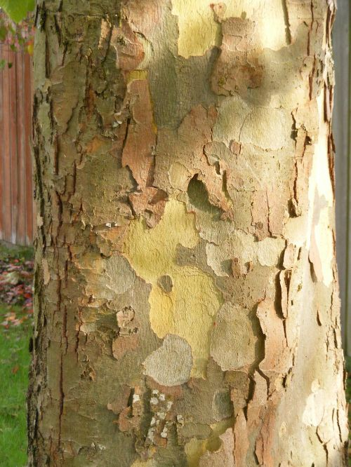 plane tree bark london plane tree