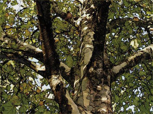 plane tree london plane tree sycamore