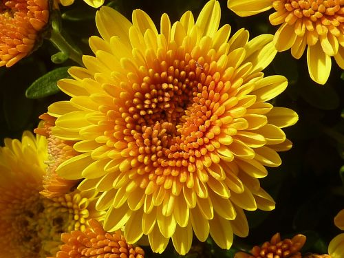 plant flower chrysanthemum