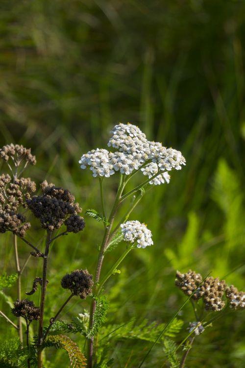 achillea millefolium wildflower plant