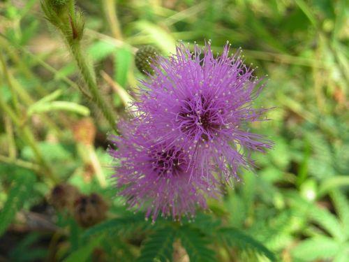 augalas,gėlė,cerrado,silvestre,trapi,gėlės,gamta,makro,išsamiai,lauko gėlė