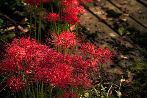 plant flowers japan