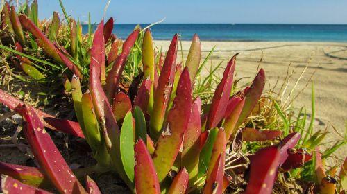 plant ammophilous beach